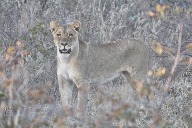 Lion, panthera leo, standing in grassland