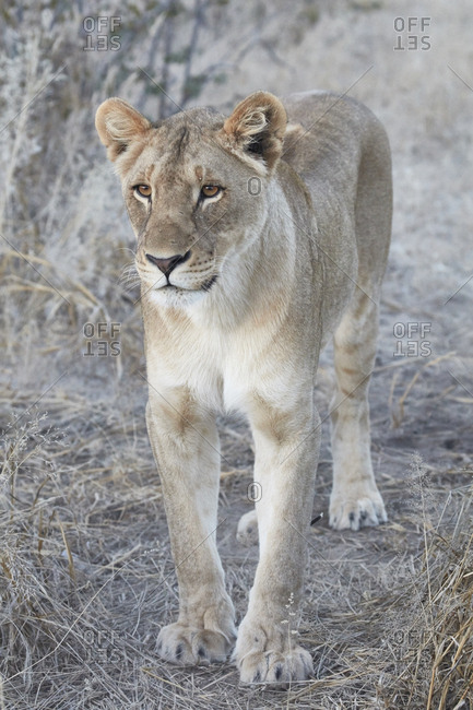 Lion, panthera leo, walking through grassland