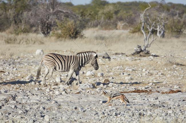 Burchell's zebra, Equus quagga burchellii, and a black-backed jackal, Canis mesomelas, walking through grassland