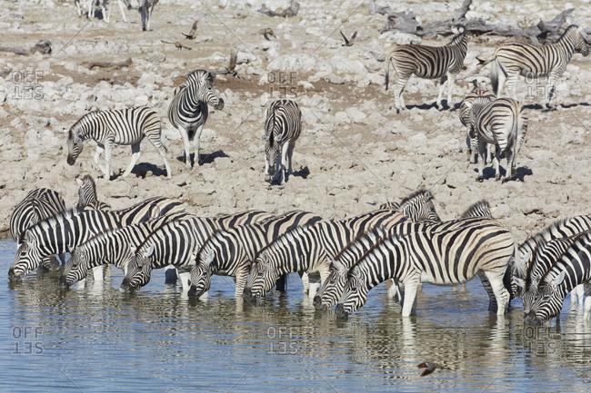 Burchell's zebra, Equus quagga burchellii, standing in watering hole drinking