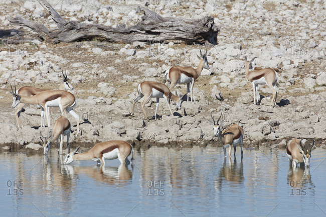 Springbok, Antidorcas marsupialis, standing in watering hole drinking