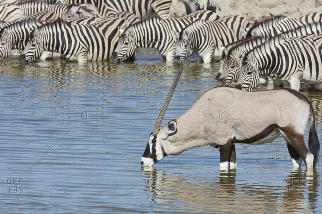 Burchell's zebra, Equus quagga burchellii, and a Thomson's gazelle, Eudorcas thomsonii, standing in watering hole drinking