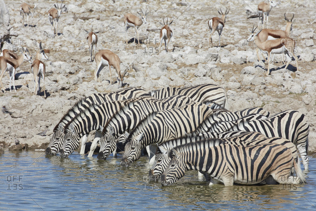 Burchell's zebra, Equus quagga burchellii, and a springbok, Antidorcas marsupialis, standing in watering hole drinking