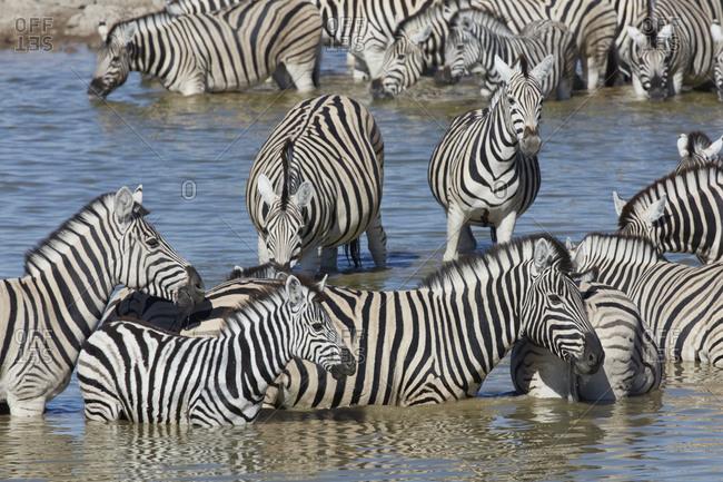 Burchell's zebra, Equus quagga burchellii, standing in watering hole