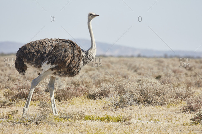 South African Ostrich, Struthio camelus australis, walking through grassland