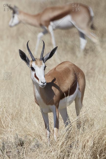 A Springbok, Antidorcas marsupialis, standing in grassland