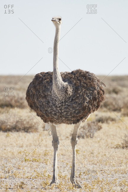 South African Ostrich, Struthio camelus australis, standing in grassland