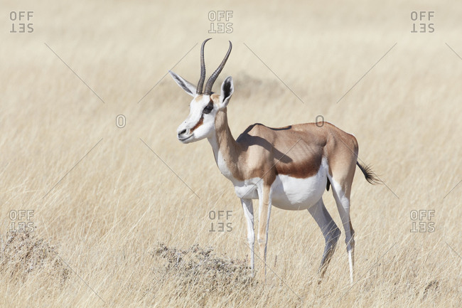 Springbok Antelope, Antidorcas marsupialis, standing in grassland