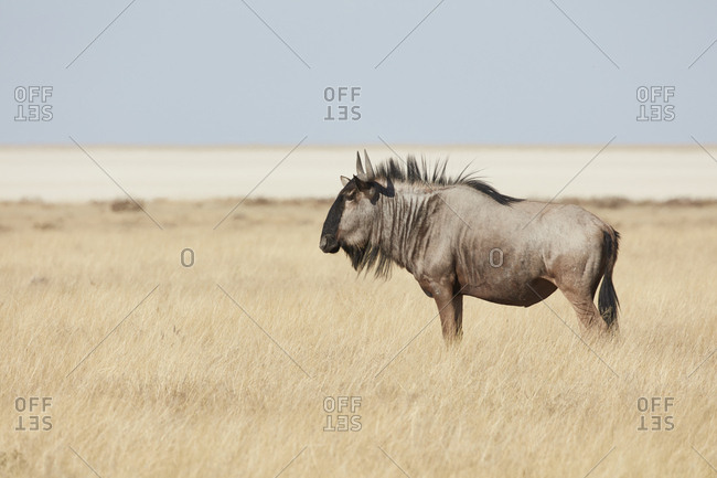 A Gnu or Blue Wildebeest, Connochaetes taurinus, standing in grassland