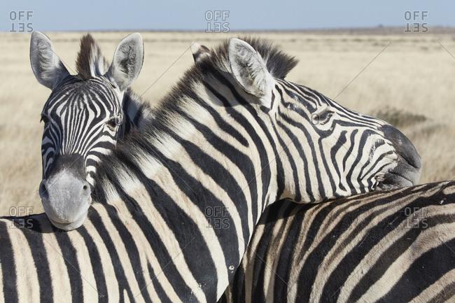 Two Burchell's zebra, Equus quagga burchellii, nuzzling each other in grassland