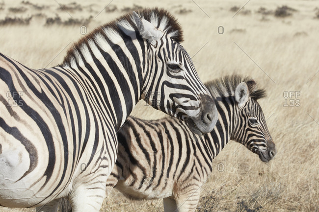 Two Burchell's zebra, Equus quagga burchellii, an adult and a foal, standing in grassland