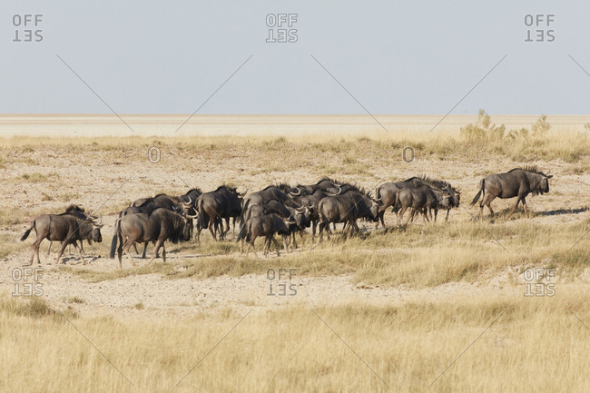 Herd of Gnu or Blue wildebeest, Connochaetes taurinus, walking through grassland