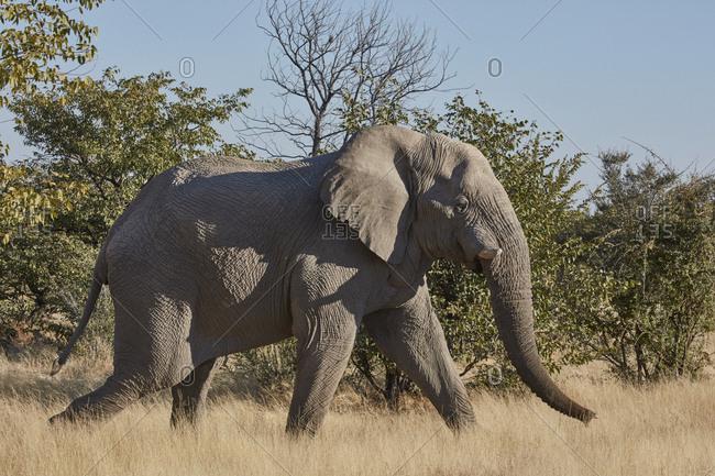 African elephant, Loxodonta africana, walking through grassland