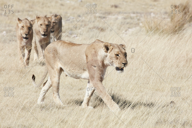 Lions, panthera leo, walking through grassland