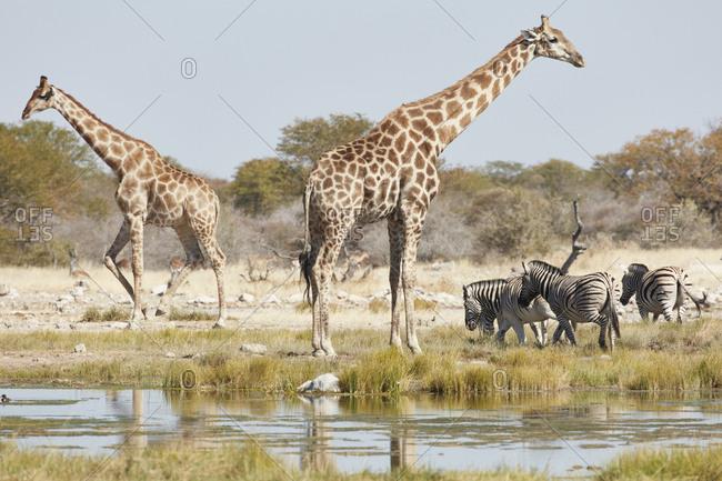 Angolan giraffes, Giraffa giraffa angolensis, and Burchell's zebra, Equus quagga burchellii, standing in grassland near watering hole