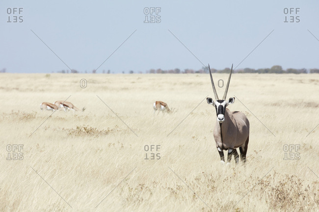 A Gemsbok, gemsbuck, Oryx gazella with head raised, standing in grassland