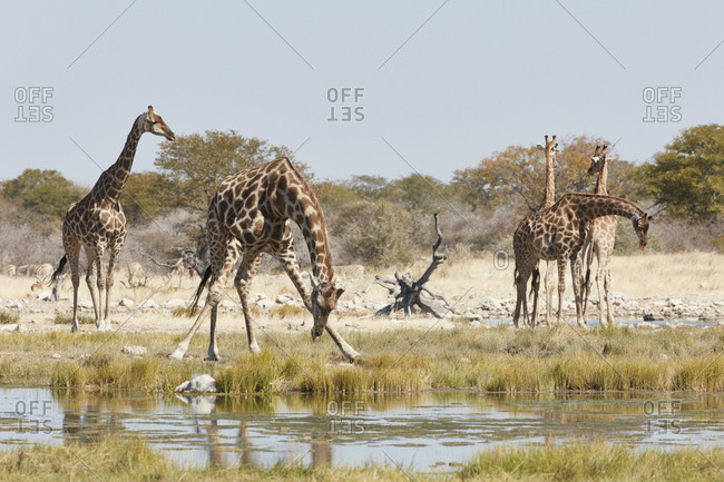 Herd of Angolan giraffes, Giraffa giraffa angolensis, standing in grassland near a watering hole, with one bending down to drink
