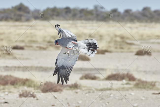 Bird in flight trying to catch prey A Pale Chanting Goshawk, Melierax canorus rising with wings outstretched, with a lizard falling from its talons