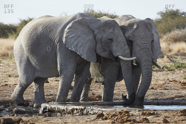 Two African elephants, Loxodonta africana, standing at a watering hole in grassland