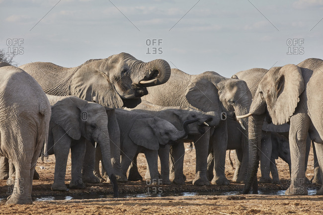 Herd of African elephants, Loxodonta africana, standing at a watering hole in grassland