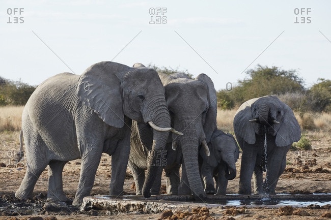 Group of African elephants, Loxodonta africana, standing at a watering hole in grassland