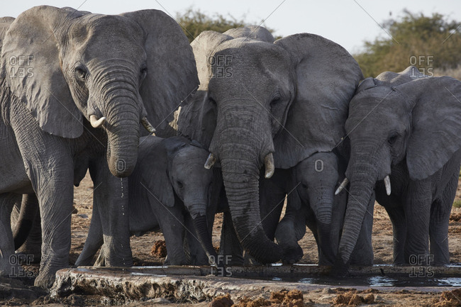 Group of African elephants ,Loxodonta africana, standing at a watering hole in grassland