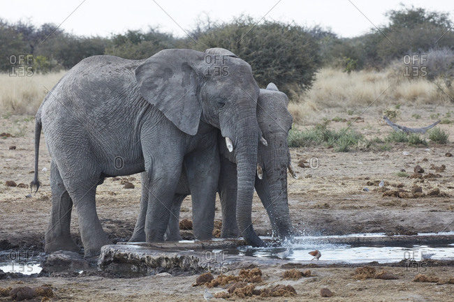 African elephants, Loxodonta africana, standing at a watering hole in grassland