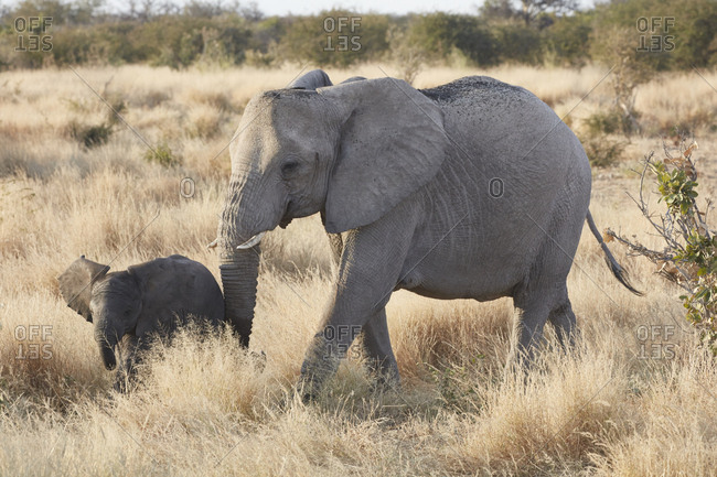 Two African elephants, Loxodonta africana, an adult and a young elephant walking in grassland