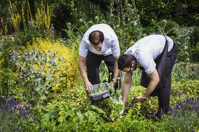 Two men standing in a kitchen garden, picking plants