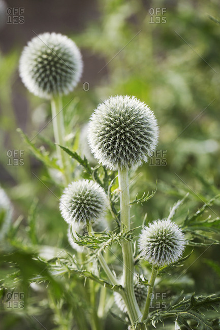 Close up of green globe thistles in a garden