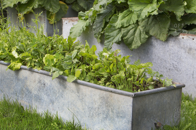 Close up of fresh herbs growing in a rectangular grey metal planter