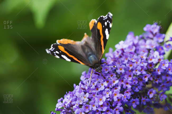 Close up of Admiral butterfly collecting nectar from a purple lilac flower head