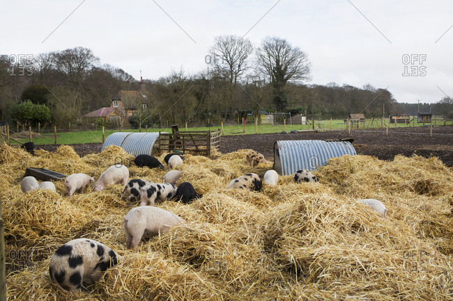 Gloucester Old Spot pigs in an open outdoors pen with fresh straw and metal pig arks, shelters