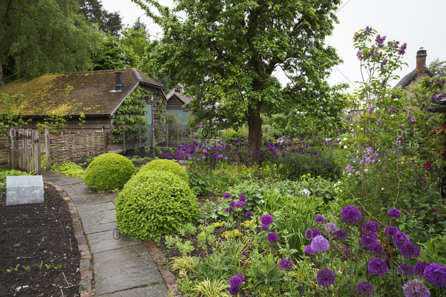 View of garden with flowerbed with shrubs and purple flowers and plant bed divided by path, tree and cottage in background