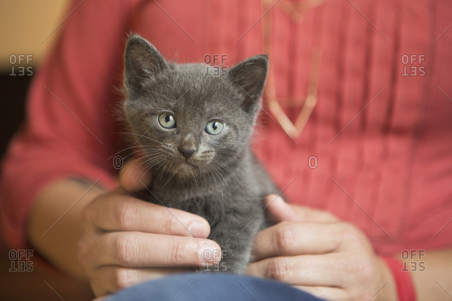 A small grey kitten sitting, held on a woman's lap
