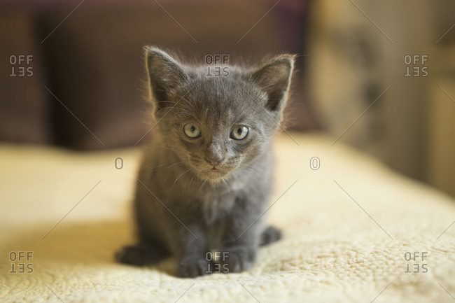 A small grey kitten looking alert and curious