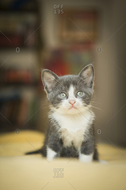 A small grey and white kitten looking around alert and curious