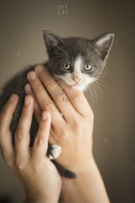 A small grey and white kitten being held in a person's hands