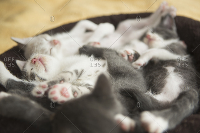 A litter of grey and white kittens asleep in a small cat bed