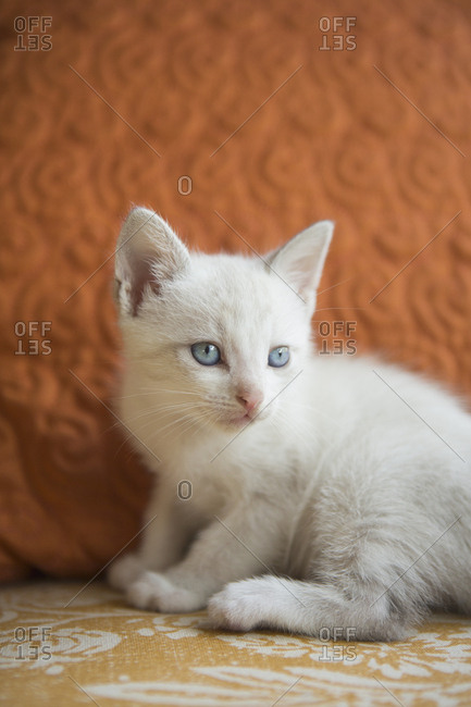 A small white kitten with blue eyes