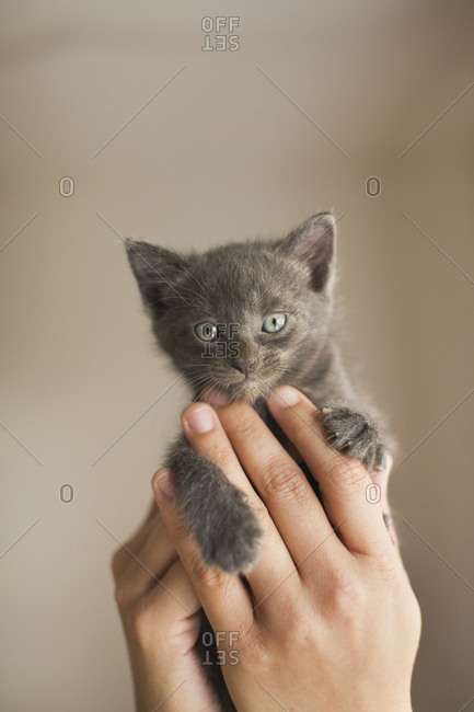 A small grey kitten being held in a person's hands