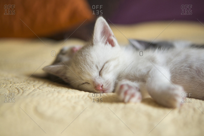 A small grey and white kitten lying asleep on a bed