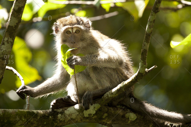 Macaque sitting on tree branch eating a leaf