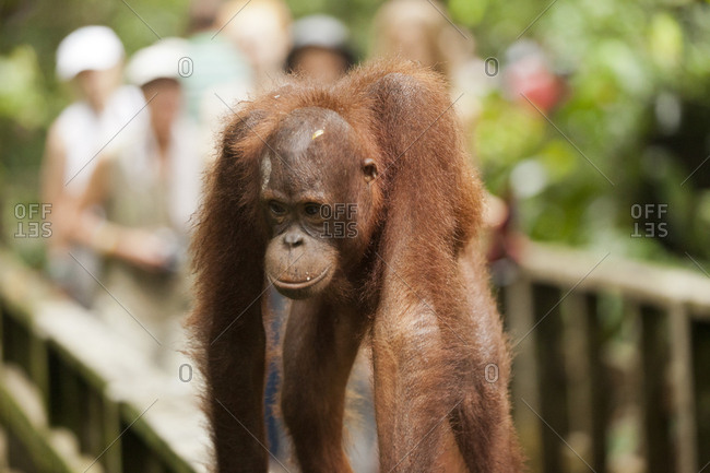 Orangutan at wildlife reserve