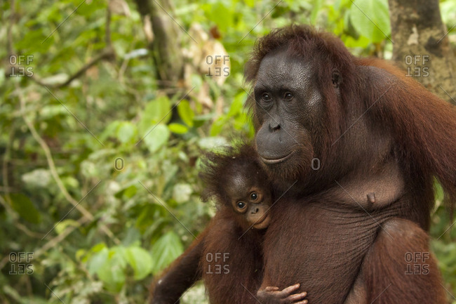Mother orangutan holding her baby