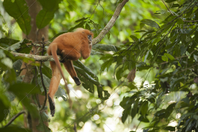 Red leaf monkey relaxing on tree branch