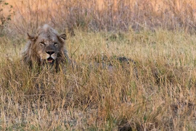 Lion (Panthera leo), resting in grass, Okavango Delta, Botswana, Africa