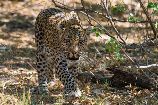 Leopard (Panthera pardus), walking in the bush, Okavango Delta, Botswana, Africa