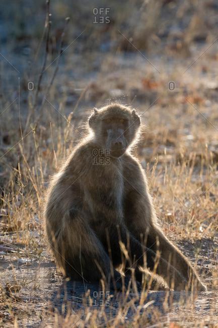Portrait of Chacma Baboon (Papio ursinus), Okavango Delta, Botswana, Africa