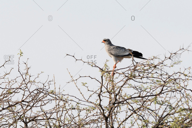 Pale chanting goshawk (Melierax canorus), Nxai Pan, Botswana, Africa
